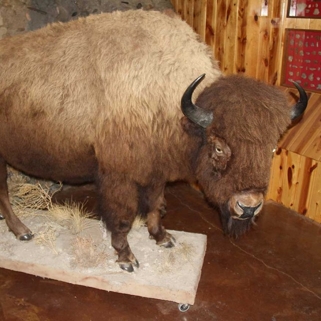 American Bison Exhibit